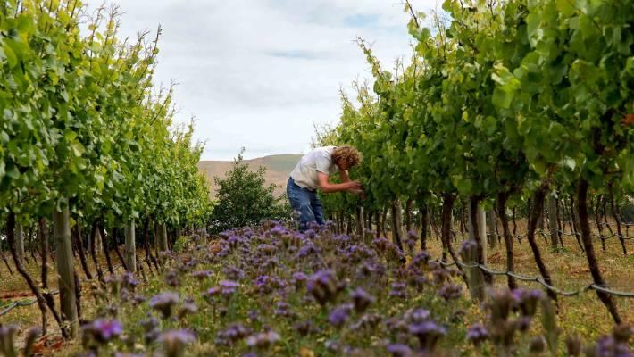 GoDutch.Wine | Orange Wine herbs vineyard